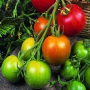 Tomato Tigerella 200 seeds